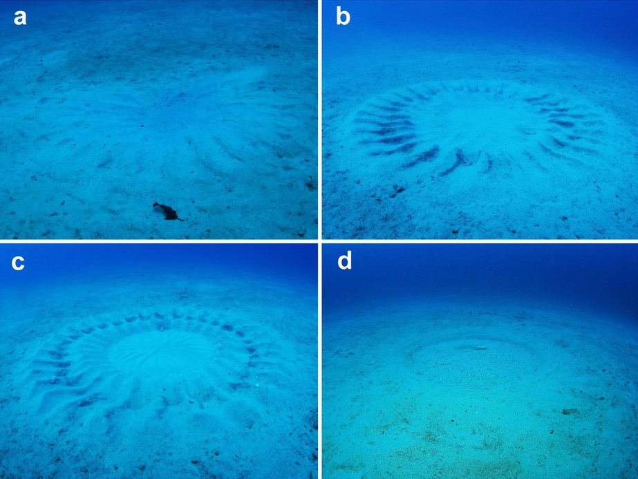 Underwater crop circles pufferfish
